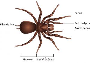 Anatomia da aranha