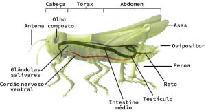 Anatomia de um gafanhoto