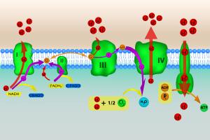 Cadeia transportadora de elétrons ou fosforilação oxidativa