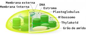 Estrutura dos cloroplastos