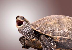 Tartaruga cordados