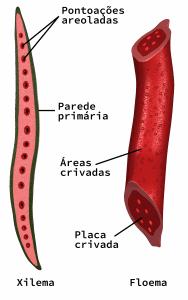 Células do xilema e floema