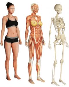Anatomia muscular e esquelética