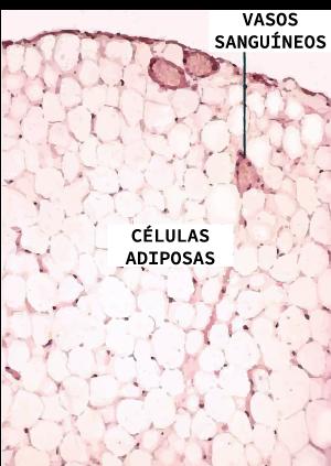 Imagem de um corte histológico do tecido adiposo, na qual encontramos os adipócitos e vasos sanguíneos
