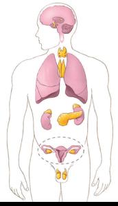 Representação ilustrativa das glândulas do sistema endócrino. Glândulas em amarelo