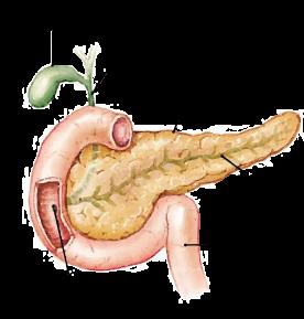 Representação ilustrativa do pâncreas e estruturas próximas