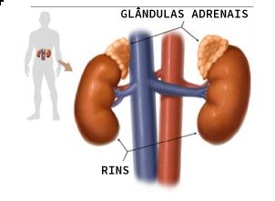 Localização das glândulas adrenais na parte superior dos rins