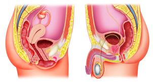 Representação ilustrativa do sistema reprodutor masculino (figura superior) e feminino (figura inferior). Neles estão contidos os testículos e ovários que também fazem parte do sistema endócrino