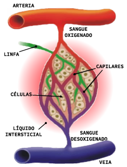 Representação do líquido insterticial que atravessa os diferentes vasos sanguíneos rumo aos ductos linfáticos, que fará parte do conteúdo da linfa
