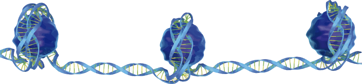 Figura representativa da cromatina: associação da molécula de DNA com a proteína histona