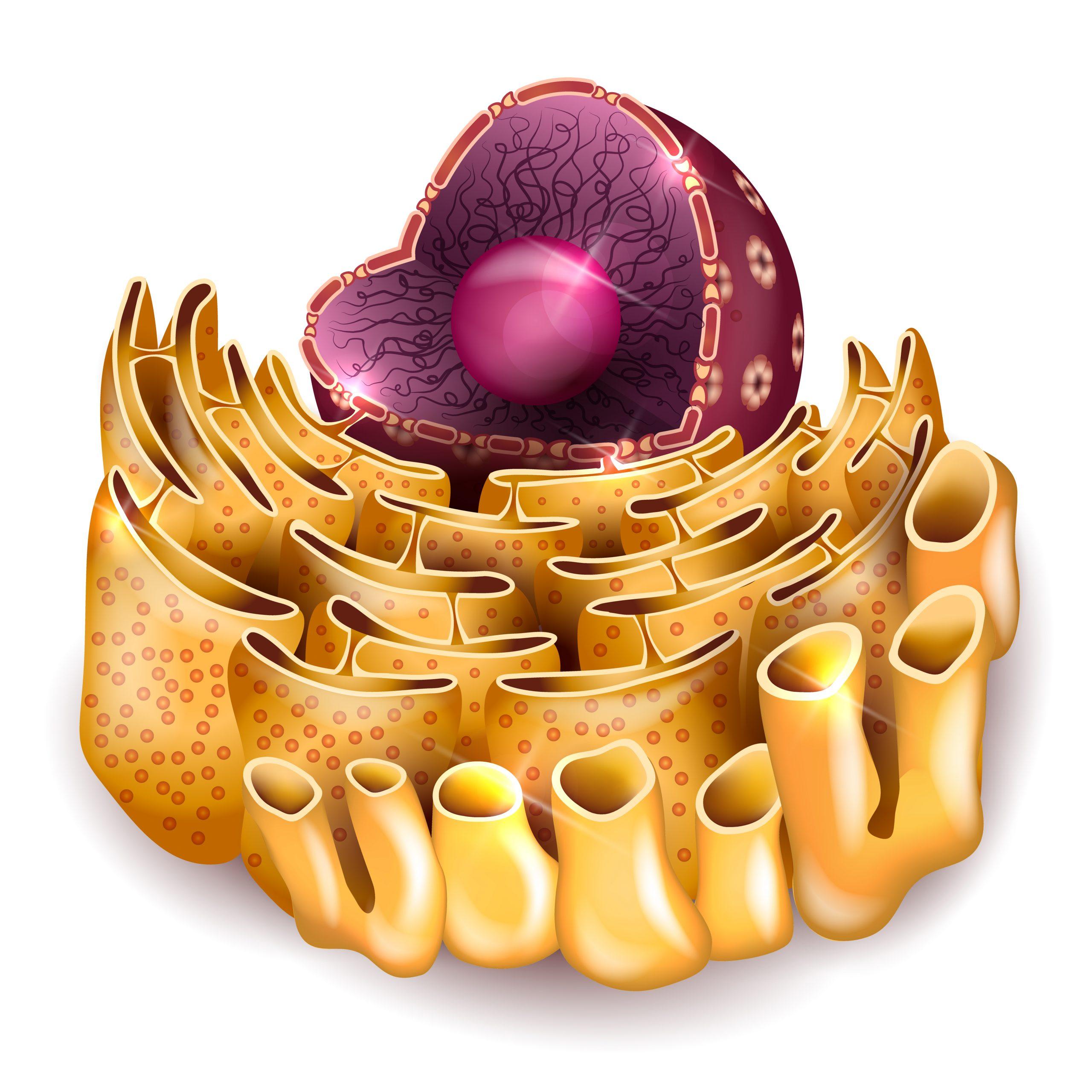 Organização do retículo endoplasmático