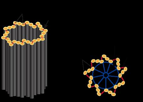 Estruturas de um centríolo