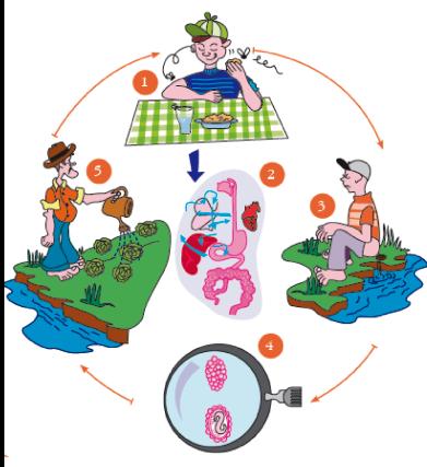 Ciclo de vida do Ascaris lumbricoides