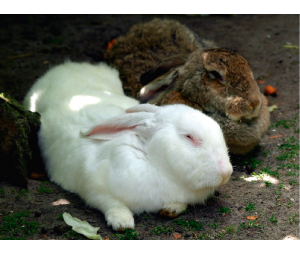 Exemplo de coelhos com diferentes cores de pelagens