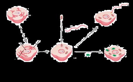 Origem endossimbiótica da mitocôndria, cloroplasto e flagelo