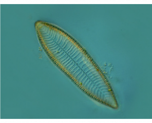 Fotografia microscópica de uma espécie de diatomáceas chamada de Surirella