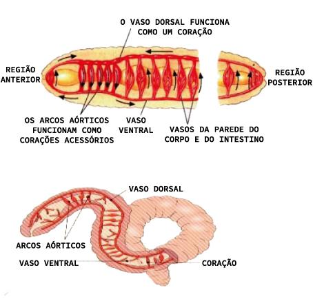 Estruturas de um anelídeo
