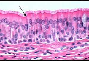 A estrutura indicada pela seta é um tipo de tecido epitelial