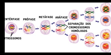 Figura representativa das fases de divisão celular Meiose I e Meiose I