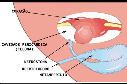 Esquema de um metanefrídio de um molusco