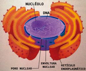 Estrutura e composição do núcleo