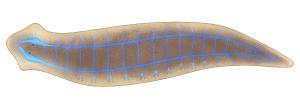 Representação do sistema nervoso (em azul) da planária