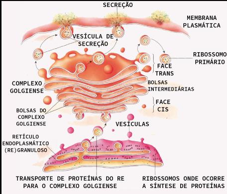 Produção de proteínas no retículo e o empacotamento delas realizado pelo complexo de golgi
