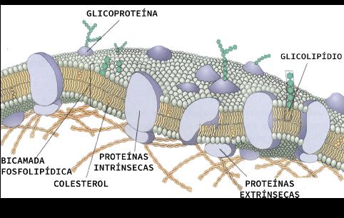 Modelo mosaico fluido de uma célula animal, a qual apresenta fosfolipídios associados a biomoléculas como glicoproteínas, glicolipídios e colesterol