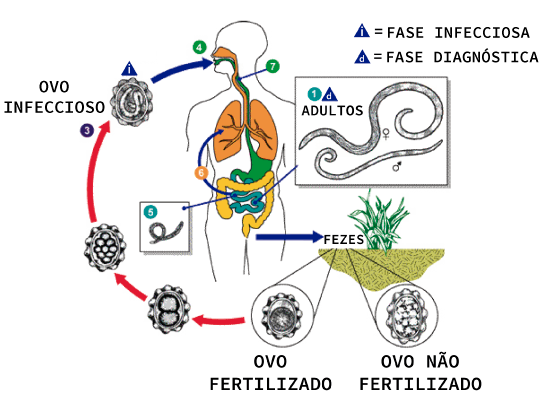 Ciclo de vida do Ancylostoma