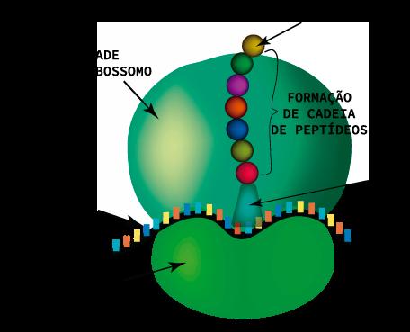 Estrutura de um ribossomo livre