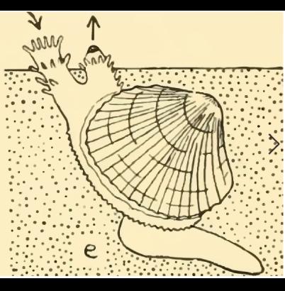 Sifões presentes nos moluscos