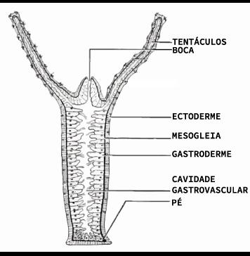 Sistema digestório de um cnidário