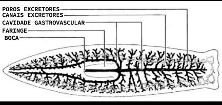Sistema digestório de um platelminto