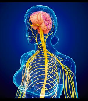 Representação do sistema nervoso de um cordado