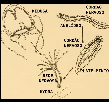 Comparação entre os sistemas nervosos de cnidários, platelmintos e anelídeos
