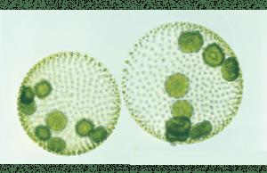 Volvox globator, uma espécie de clorofíceas ou algas verdes