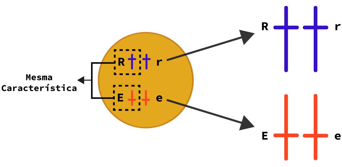 Representação de dois pares de alelos diferentes.
